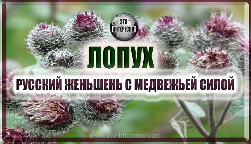 ЛОПУХ - РУССКИЙ ЖЕНЬШЕНЬ С МЕДВЕЖЬЕЙ СИЛОЙ